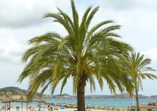 Palma de majorque palmier